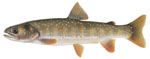 LIMITED EDITION PRINT BULL TROUT