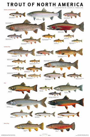 Trout of North America Poster - Joe Tomelleri