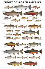 Trout of North America Poster - Joe Tomelleri