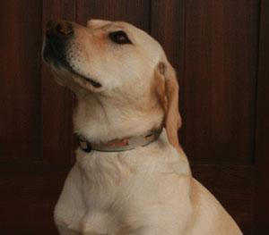 Ribbon Dog Collar